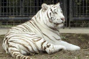 Hổ trắng vồ chết nhân viên sở thú ở Nhật Bản