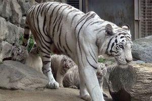 Hổ trắng quý hiếm vồ chết nhân viên vườn thú ở Nhật Bản
