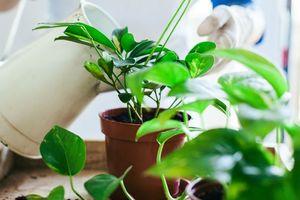 Sai lầm nghiêm trọng khi trồng cây, hoa trong nhà cần bỏ gấp