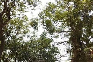 Clip: Cận cảnh cây sưa trăm tỷ ở Hà Nội