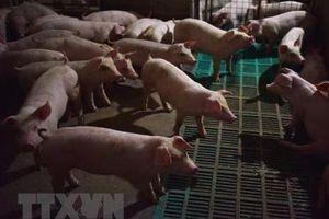 Trung Quốc cấm nhập khẩu lợn sống từ Nhật Bản và Bỉ