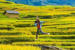 Mùa vàng Y Tý, hương thơm lúa mới mê mẩn quên lối về