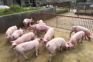 Cần chung tay đưa giá lợn về mức 45.000 đồng/kg
