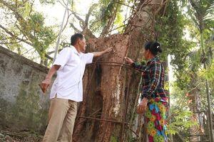 Định giá lại cây sưa trăm tỷ: Chưa chắc còn gỗ tốt