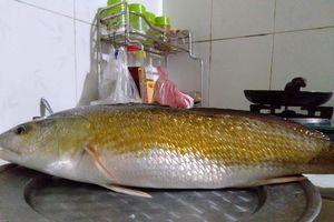 Thanh niên đi câu lúc rạng sáng bắt được cá lạ nghi là cá sủ vàng