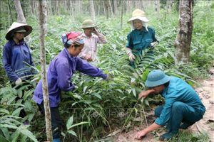 Thu nhập mỗi năm 800 triệu đồng nhờ trồng rừng kết hợp chăn nuôi