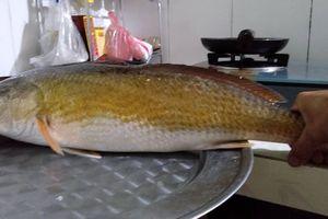 Ngư dân Huế câu được cá nặng 3 kg nghi cá sủ vàng quý hiếm