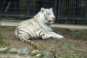 Nhật Bản: Cho hổ trắng về buồng ngủ, nhân viên sở thú bị cắn tử vong