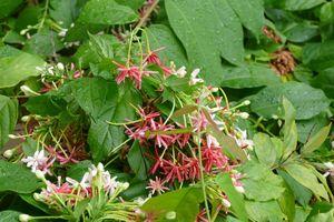Hoa Sử quân tử: Những điều chưa biết về cây thuốc quý có hoa đẹp