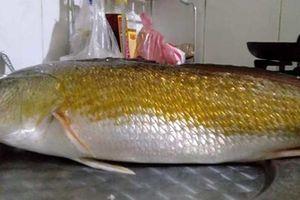 Ngư dân ở Huế câu được cá sủ vàng quý hiếm