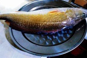 Ngư dân Huế câu được cá nghi sủ vàng quý hiếm