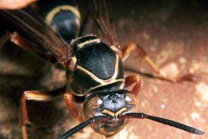 20 con ong vò vẽ đốt khắp người, nam thanh niên hôn mê sâu, sốc nặng