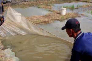 An Giang: Làng ương cá lóc lớn nhất miền Tây kéo cá chạy lũ