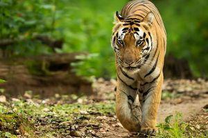 Ấn Độ dùng nước hoa Calvin Klein săn hổ dữ bị nghi sát hại 13 người