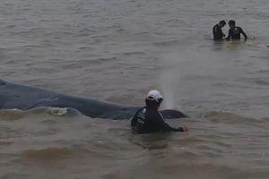 Argentina: Giải cứu cá voi lưng gù mắc trong lưới đánh cá