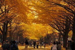 Nhật Bản mùa thu, đi đâu ngắm rừng phong lá đỏ?