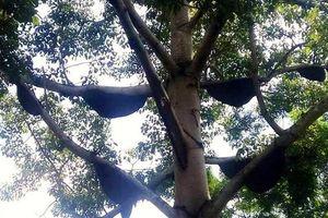 Cây gạo khổng lồ kéo hơn 30 đàn ong rừng về làm tổ