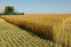 Nhập lúa mì nhiễm cỏ kế đồng: Bài học 'con ốc bươu vàng' chưa đủ sợ hay sao?