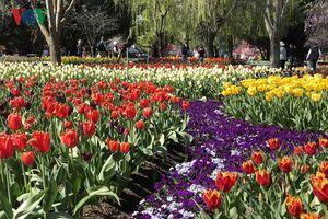 Ngất ngây với vẻ đẹp mê hồn của thiên đường hoa Tulip gần Sydney