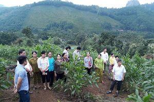 Hiệu quả mô hình trồng keo lai giống nuôi cấy mô ở Hòa Bình