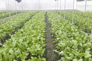 Choáng ngợp vườn rau sạch tiền tỷ ở Thái Nguyên