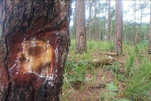 Lâm Đồng: Hai thanh niên ra tay đầu độc rừng thông 3 lá bằng hóa chất