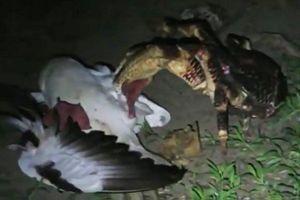 Clip: Cận cảnh màn 'hạ sát' chim hải âu của cua dừa