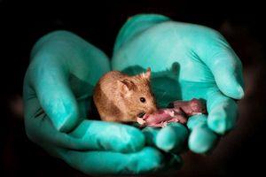 Tạo ra chuột con từ hai chuột cái