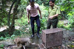 Đông Triều, Quảng Ninh: Thả 1 cá thể khỉ đuôi lợn về môi trường tự nhiên