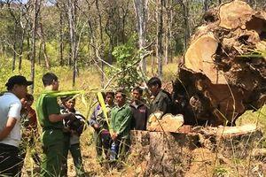 Truy tố 15 đối tượng phá rừng Vườn quốc gia Yok Đôn