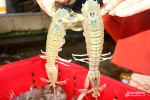 Ngư dân Quỳnh Lưu được mùa tôm tít