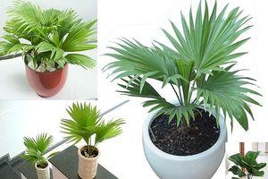 8 loại cây vừa dễ mua lại giúp loại bỏ độc tố, thanh lọc không khí trong nhà