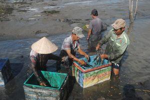 Tôm càng xanh được mùa kép, nông dân Cà Mau có lãi