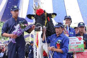Bò được uống nước điện giải, đánh móng tại cuộc thi Hoa hậu bò sữa 2018