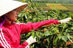 Giảm 'vận đen' cho cà phê, cần chứng chỉ bền vững