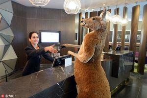 Ảnh hài hước 'khó đỡ' của kangaroo làm ai cũng phải cười