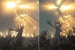 Ngoạn mục cảnh hươu xuất hiện như một vị thần trong rừng