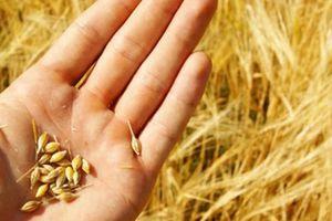 Lô lúa mỳ nhập khẩu lẫn cỏ kế đồng: Cơ quan quản lý yêu cầu tái xuất, doanh nghiệp than gấp