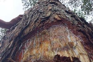 Đã bắt được 2 nghi can 'đầu độc' rừng thông 3 lá