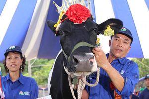 Clip: Thích thú xem thi 'hoa hậu ngàn cân' trên nông trường Mộc Châu