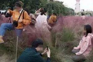 Vườn cỏ hồng bị khách Trung Quốc giẫm nát vì tranh chỗ chụp ảnh