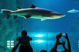 Nổi hứng... nhảy vào hồ bơi với cá mập ở Toronto
