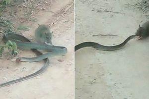 Cảnh tượng ngược đời: Chuột cắn xé rắn