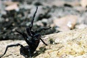 Nọc độc loài nhện Úc có tác dụng tiêu hủy khối u