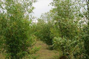 Khám phá thú vị về cây lồ ô phổ biến ở Việt Nam