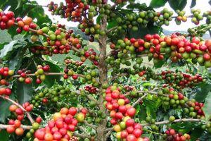 Nông sản ngày 16/10: Cà phê tăng 500 đồng/kg