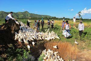Đắk Lắk tiêu hủy 2.500 con vịt bị dịch cúm gia cầm