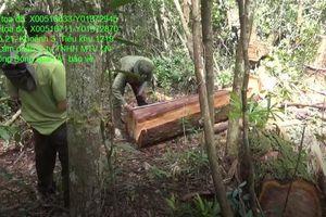 48 cây Pơ mu lớn tại huyện Krông Bông Đắk Lắk bị đốn hạ