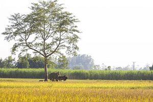 Khung cảnh ngày mùa vàng rực ở xứ Nghệ