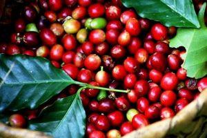 Giá nông sản hôm nay 17/10: Giá cà phê tăng thêm 100 đồng/kg, giá tiêu không nhúc nhích